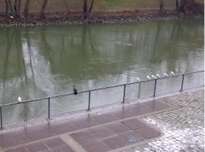 Rabe und Möwen am Donaukanal