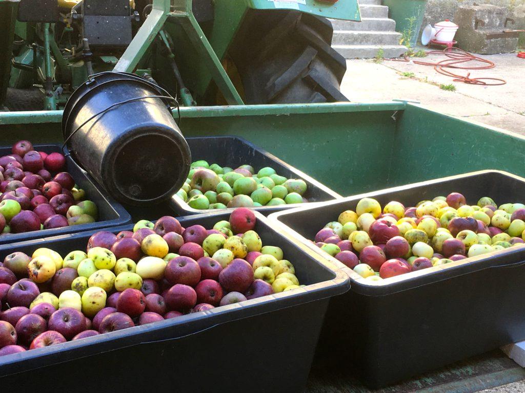Zuerst werden die Äpfel gewaschen